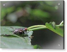 Acrylic Print featuring the photograph Flesh Fly - Sacrophaga Variegata by Jivko Nakev