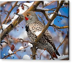 Flicker In Snow Acrylic Print