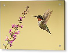 Acrylic Print featuring the photograph Flight Of A Hummingbird by Daniel Behm