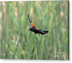 Flight Of The Blackbird Acrylic Print