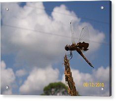 Flight Of The Dragonfly Acrylic Print by Belinda Lee