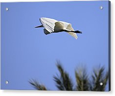 Acrylic Print featuring the photograph Flight Of The Egret by Penny Meyers
