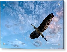 Flight Of The Heron Acrylic Print by Bob Orsillo