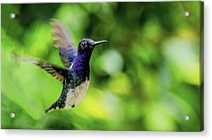 Acrylic Print featuring the photograph Flight Of The Hummingbird by Rob Tullis