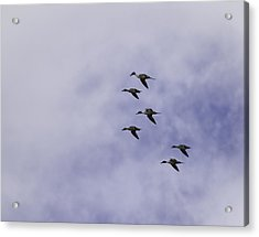Flight Of The Pintails 1 Acrylic Print by Thomas Young