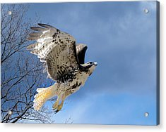 Flight Of The Red Tail Acrylic Print by Bill Wakeley
