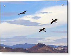 Flight Of The Sandhill Cranes Acrylic Print