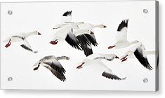 Flight Of The Snow Geese Acrylic Print by Dan Myers