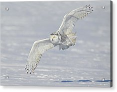 Flight Of The Snowy Acrylic Print by Daniel Behm