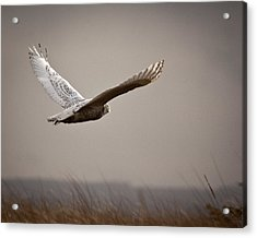Acrylic Print featuring the photograph Flight Of The Snowy Owl by Erin Kohlenberg