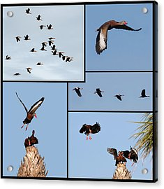 Flight Of The Whistling Duck Acrylic Print