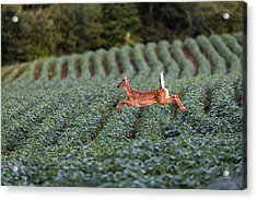 Flight Of The White-tailed Deer Acrylic Print by Everet Regal