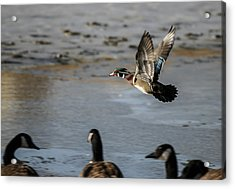 Flight Of The Wood Duck Acrylic Print