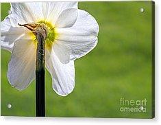 Flipside Of A Daffodil Acrylic Print by Madonna Martin