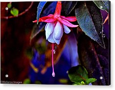 Acrylic Print featuring the photograph Flirtatious Fuschia by Wallaroo Images