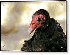 Flirting Turkey Buzzard  Acrylic Print