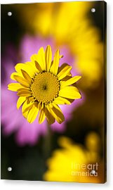 Acrylic Print featuring the photograph Floating Daisy by Joy Watson