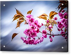 Floating To Earth Acrylic Print by Bob Orsillo