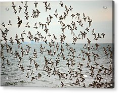 Flock Of Dunlin Acrylic Print by Karol Livote