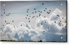 Flock Of Puffin Fratercala Arctica Acrylic Print by Panoramic Images