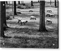 Acrylic Print featuring the photograph Flock Of Sheep by David Isaacson