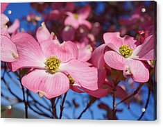 Floral Art Print Pink Dogwood Tree Flowers Acrylic Print by Baslee Troutman