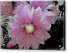 Florescence In Lavender Pink Acrylic Print by Danielle  Parent