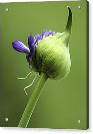 Floret Cluster Emerging  - The Agapanthus Series Acrylic Print