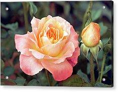 Floribunda Or Cluster Flowered Bush (fruite) Acrylic Print by Brian Gadsby/science Photo Library