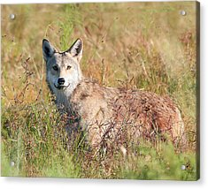 Florida Coyote In A Field Acrylic Print