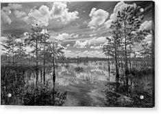 Florida Everglades 5210bw Acrylic Print