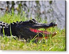 Gator Grin Acrylic Print