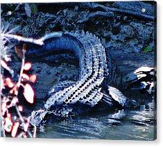 Florida 'gator Acrylic Print
