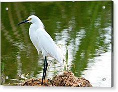 Florida, Immokalee, Snowy Egret Hunting Acrylic Print by Bernard Friel