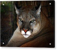 Florida Panther Acrylic Print