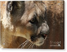 Acrylic Print featuring the photograph Florida Panther by Meg Rousher