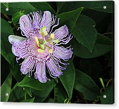 Florida Passion Flower Acrylic Print