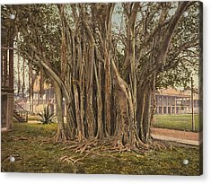 Florida Rubber Tree, C1900 Acrylic Print by Granger