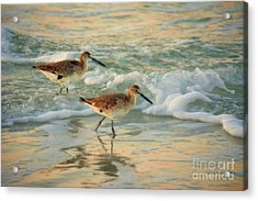 Florida Sandpiper Dawn Acrylic Print