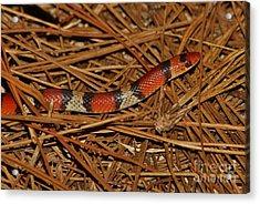 Florida Scarlet Snake Acrylic Print by Lynda Dawson-Youngclaus