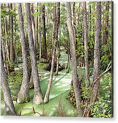 Florida Swamp Acrylic Print