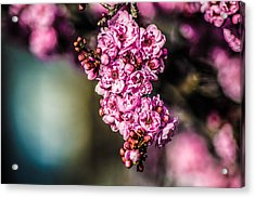 Acrylic Print featuring the photograph Flourishing In Pink by Naomi Burgess