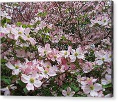 Flourishing Pink Magnolias Acrylic Print by Deborah Montana
