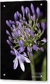 Flower- Agapanthus-blue-buds-one-flower Acrylic Print by Joy Watson