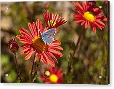Flower And Butterfly Acrylic Print by Mariana Atanasova
