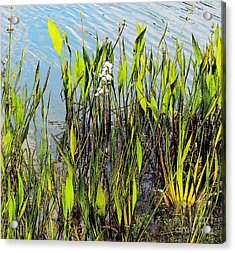 Flower And Pond Grass Acrylic Print