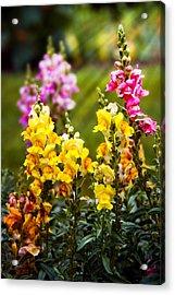 Flower - Antirrhinum - Grace Acrylic Print by Mike Savad