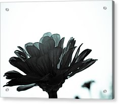 Flower Bloom Acrylic Print by Paige Sims