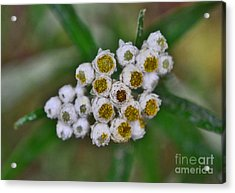 Acrylic Print featuring the photograph Flower Buttons by Mae Wertz
