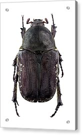 Flower Chafer Acrylic Print by F. Martinez Clavel